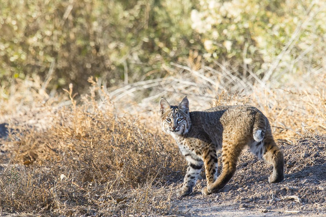 A bobcat I was lucky to come across while photographing birds.