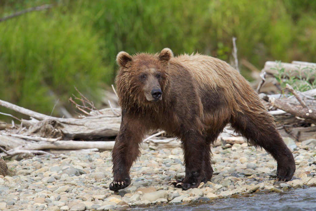 Brown bear fishing the shores for salmon