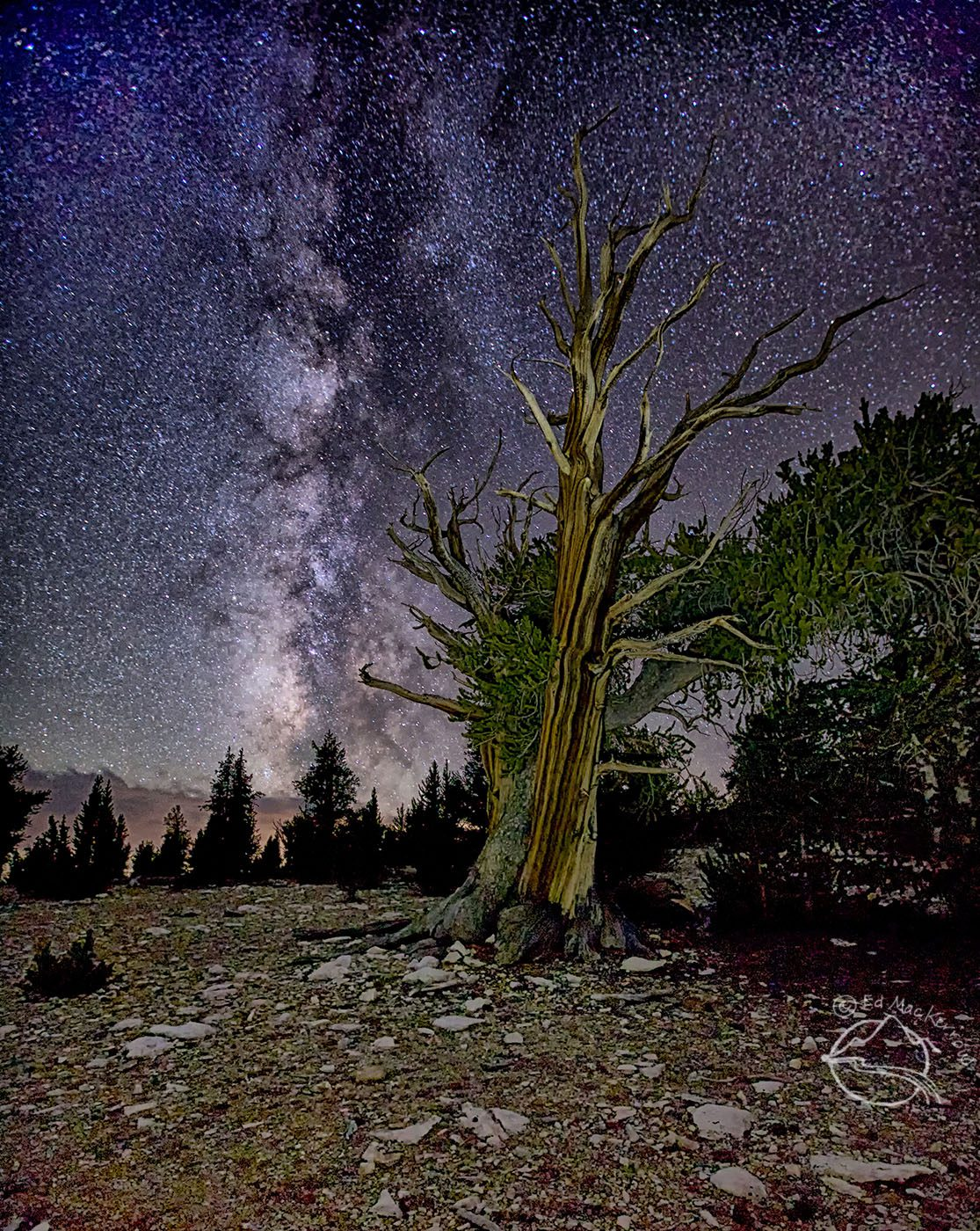 An ancient bristlecone pine experiences another night under the stars in the White Mountains of California.
