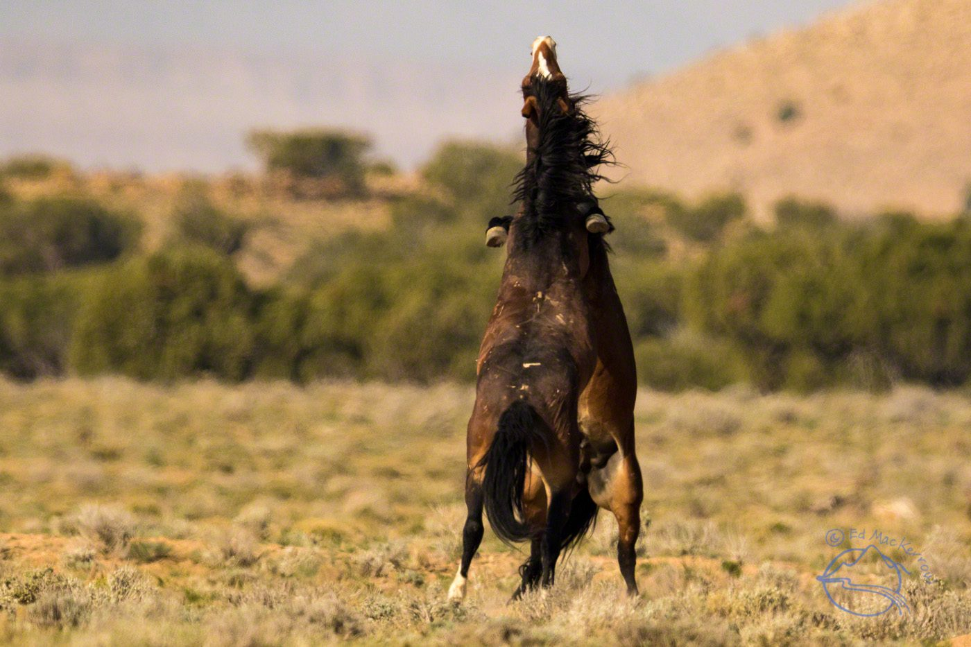 Two stallions spar for the ladies.