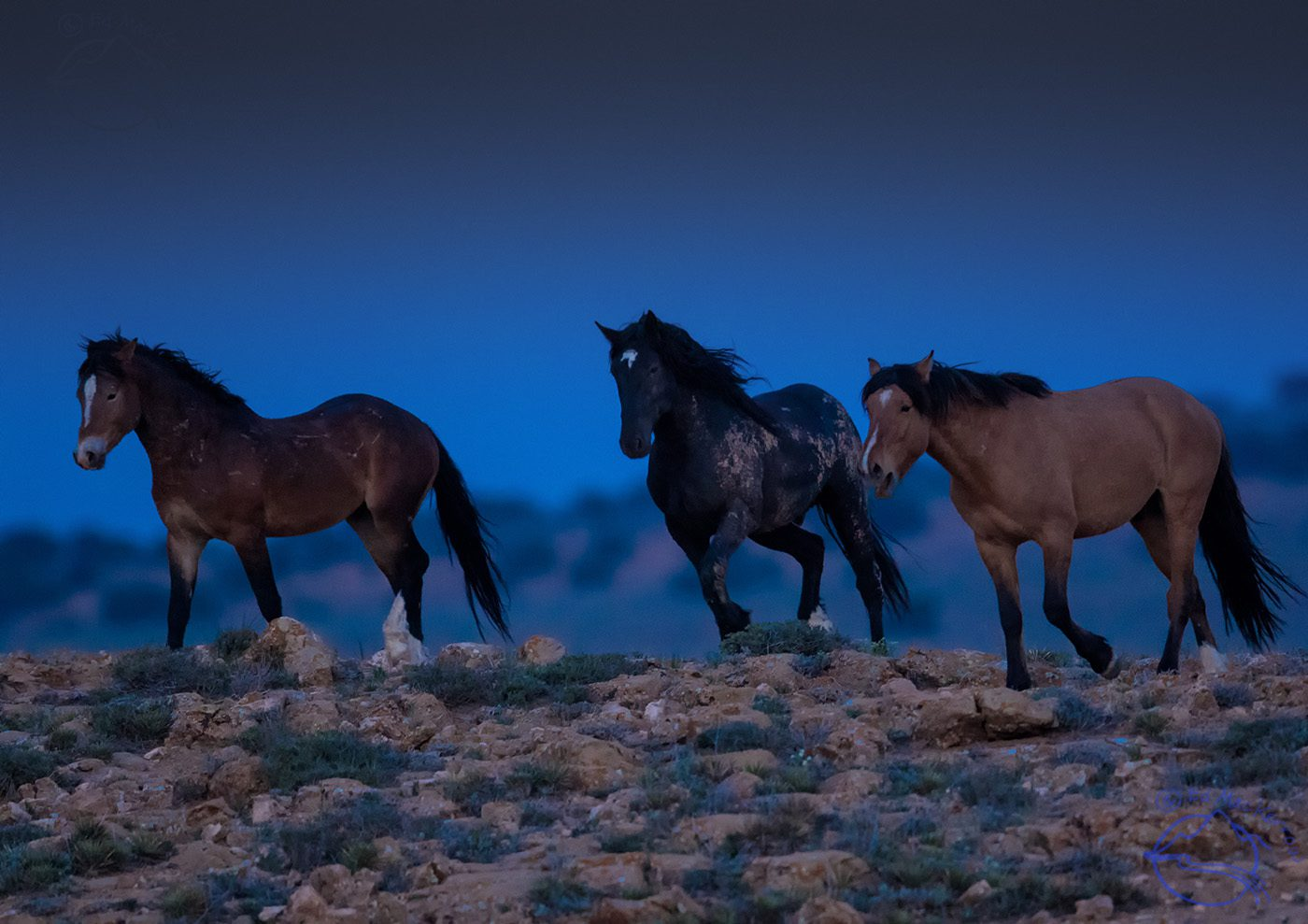 Wild Mustangs come thundering over a rise as night falls.