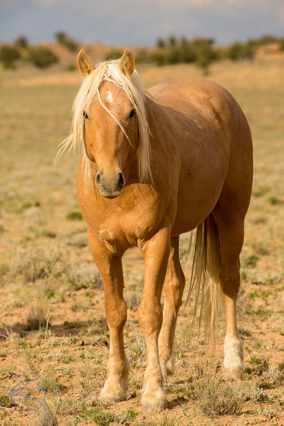 The lead stallion of a herd of 125 wild mustangs.
