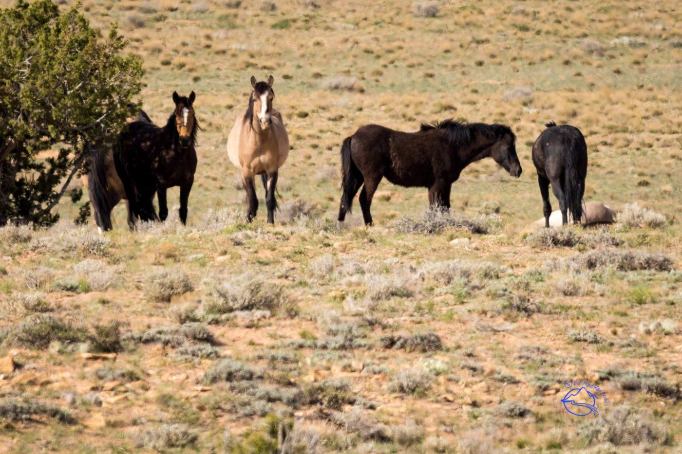 The injured mare lays down on the right side of the image while members of her band watch over her.