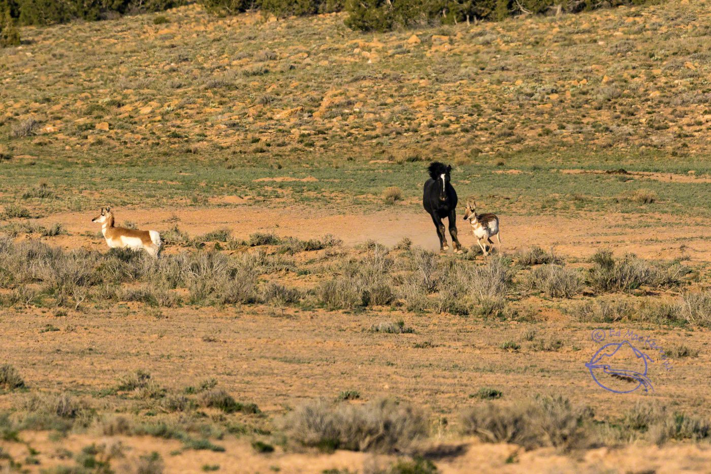 A mustang stallion plays a game of chase with an antelope.