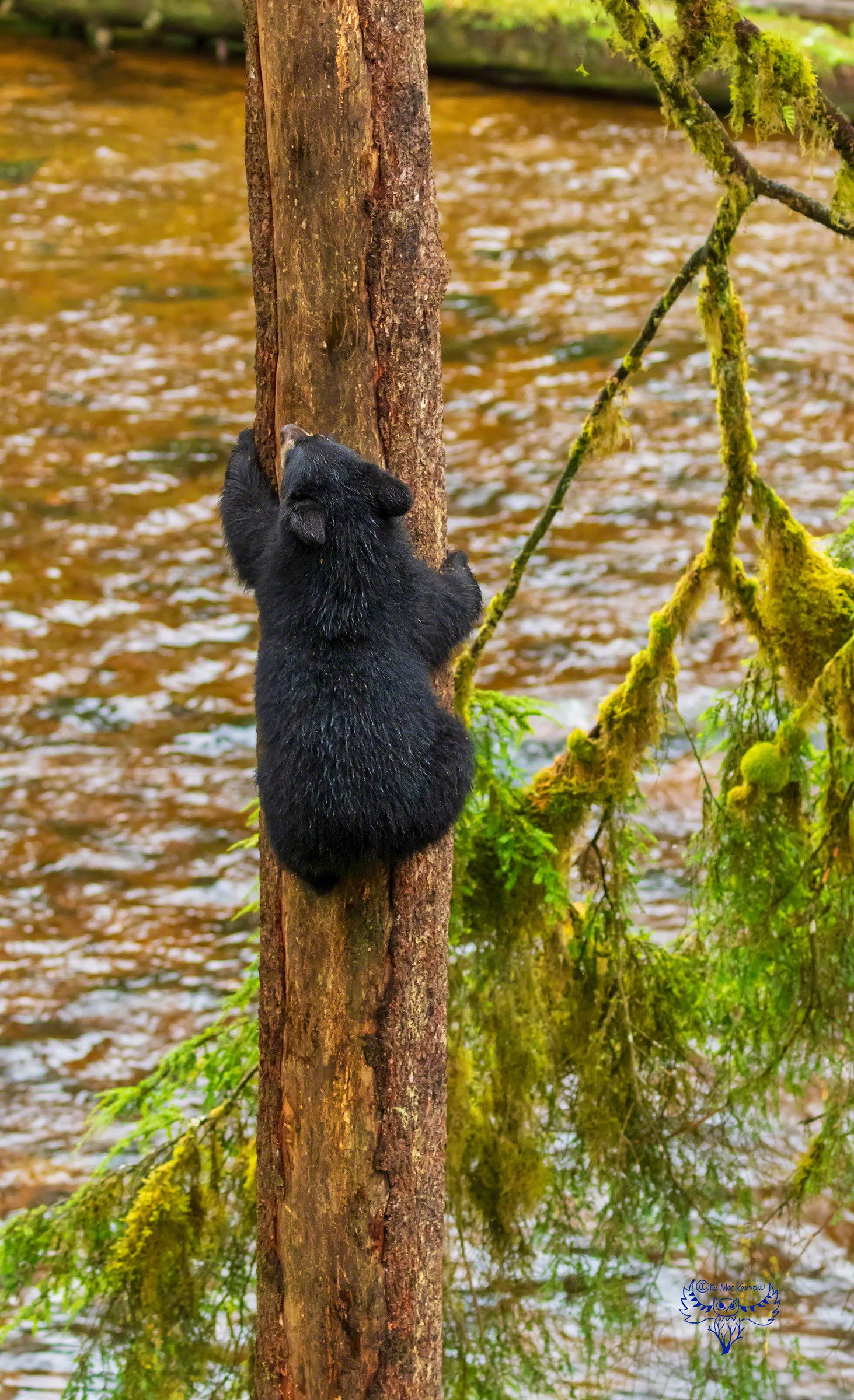 Black bear cub gracefully climbs slippery tree in the rain.