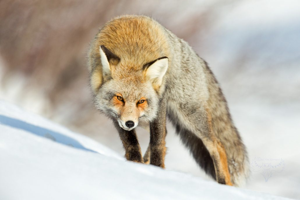 Cross Fox in warm sun on the snow.