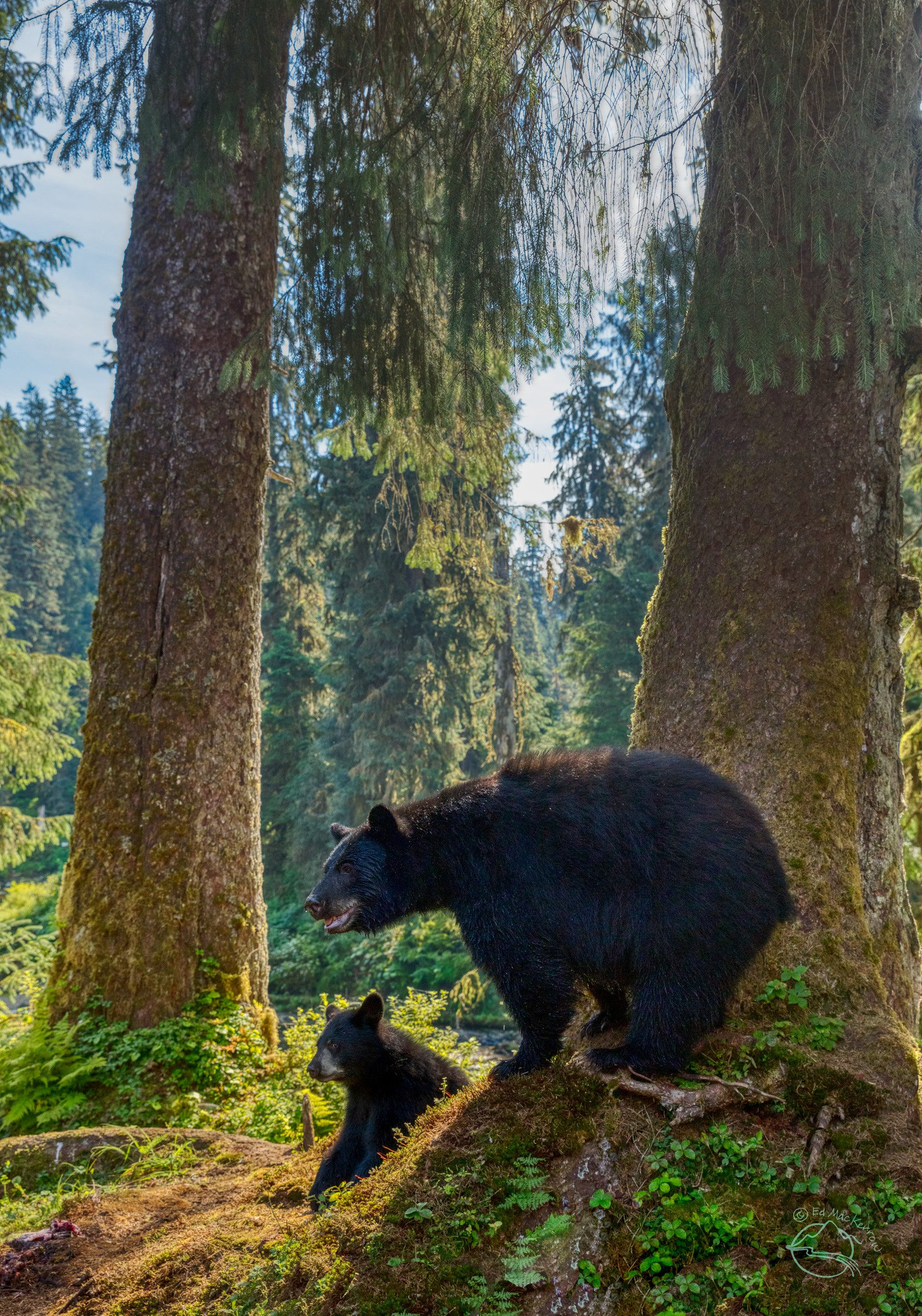Black bear cub and mother in sunshine of rainforest.