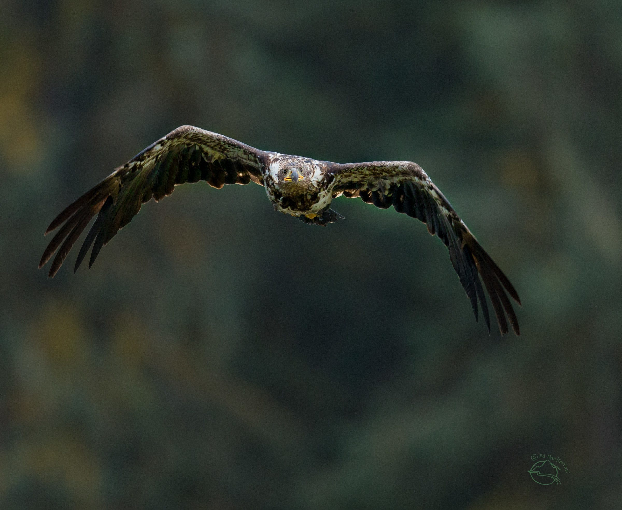 A young bald eagle in flight in the rainforest.