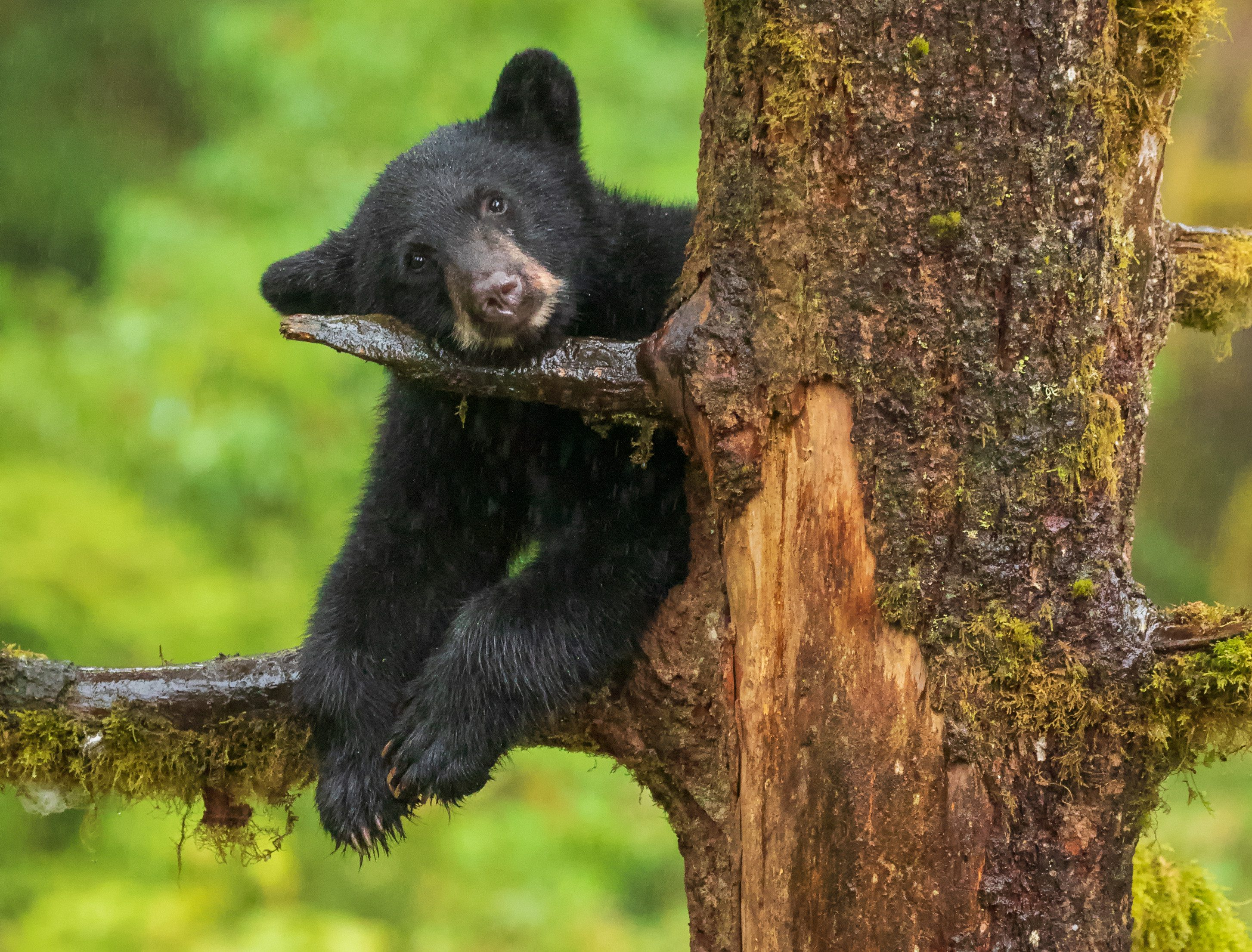 Black bear cub resting its head on tree branch in the rain.