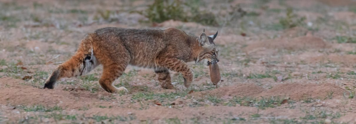 Bobcat helping with gopher control on a farm