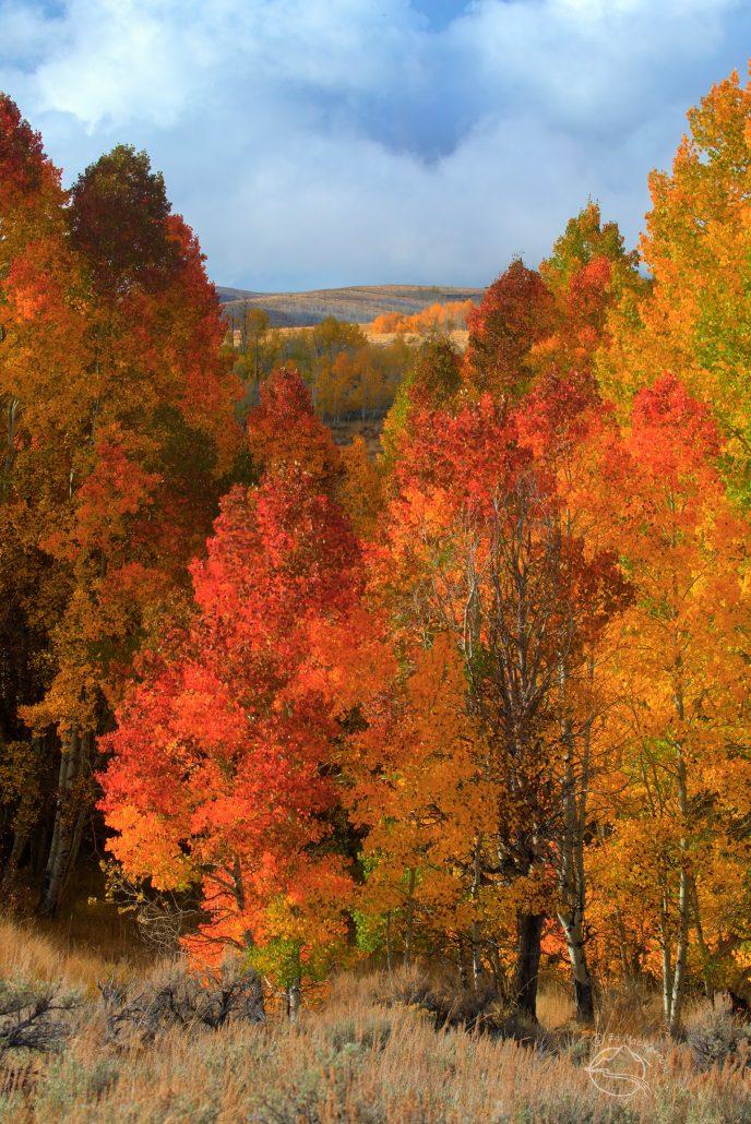 Red aspen trees in the Sierra Nevada
