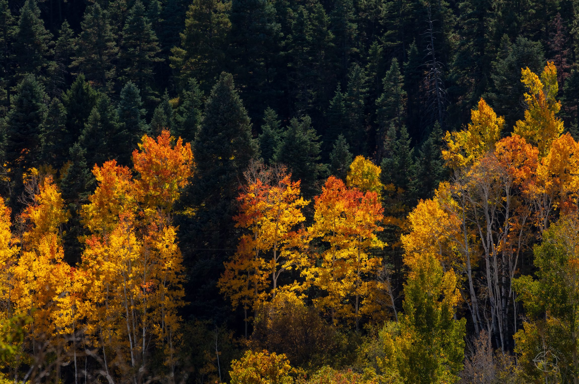 Red aspen trees in a New Mexico forest.
