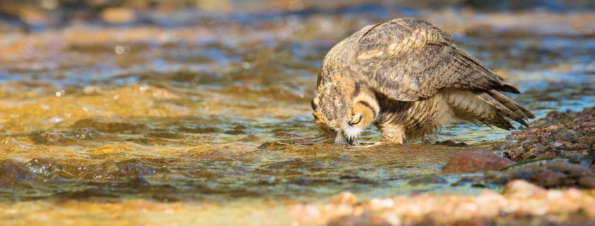 Great Horned Owl drinking water from stream