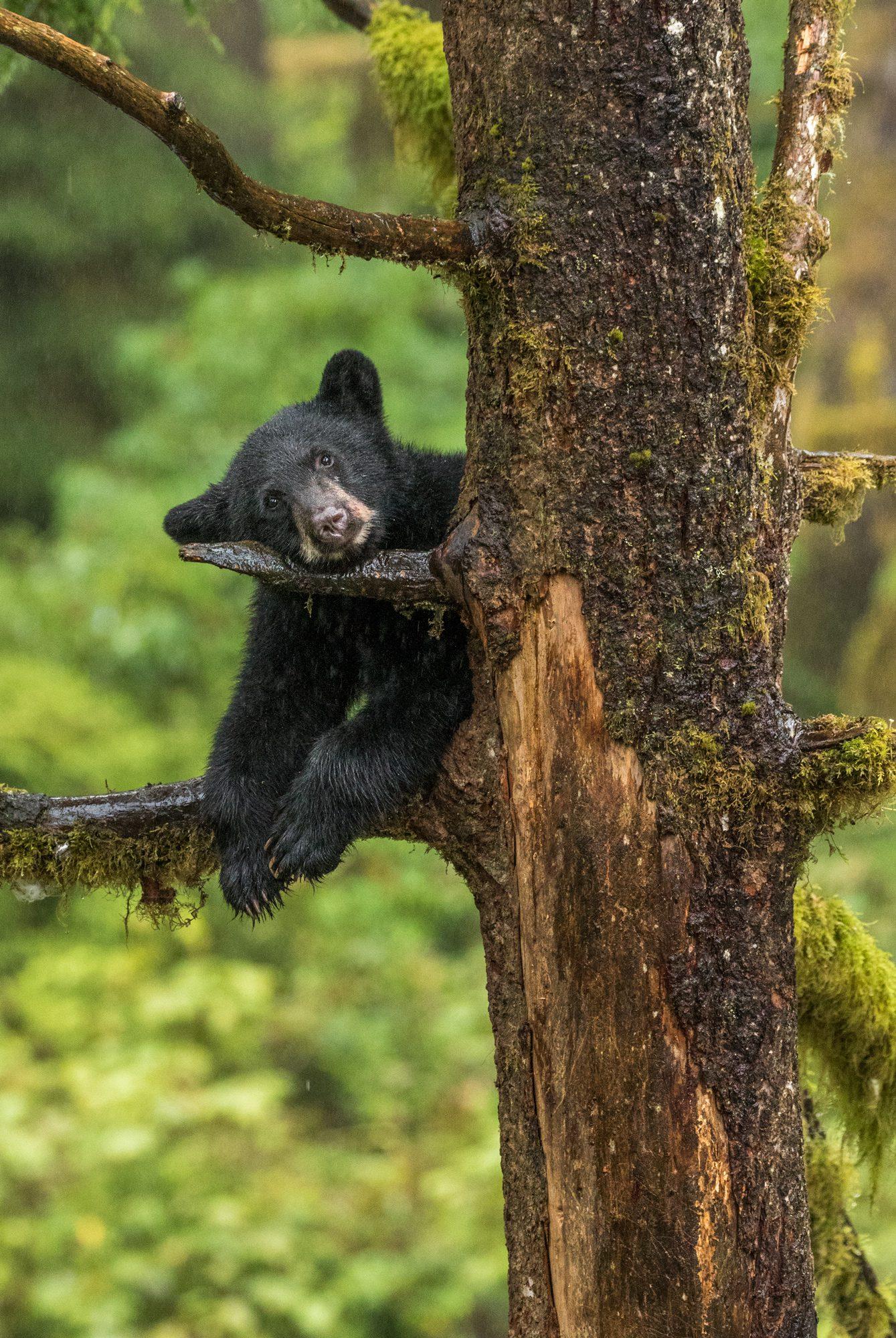 Black bear cub in a tree on a rainy day